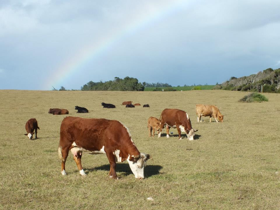 cows hawaii